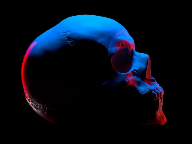 Side view of gypsum model of the human skull in neon lights isolated on black background with clipping path Premium Photo