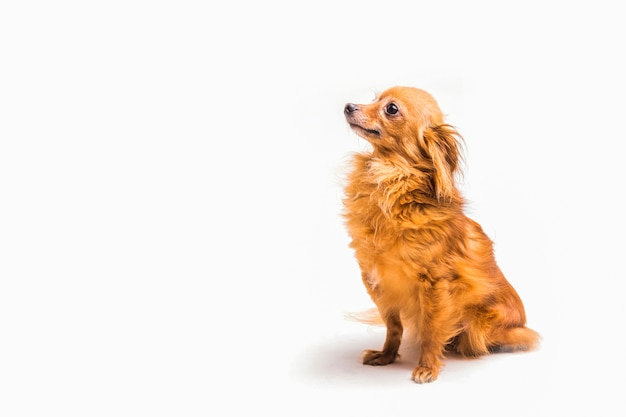 Side view of obedient dog sitting over white background Free Photo