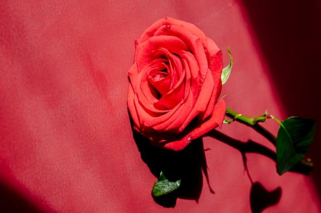 Вид сбоку розы красного цвета, изолированных на красном фоне текстуры Бесплатные Фотографии