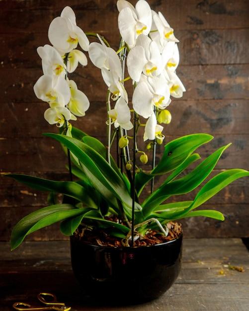 黒い植木鉢に満開の白い胡蝶蘭の花の側面図 無料写真