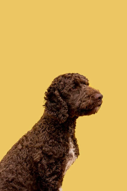 Side view poodle dog Free Photo