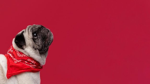 Side view of pug puppy looking up with copy space Premium Photo