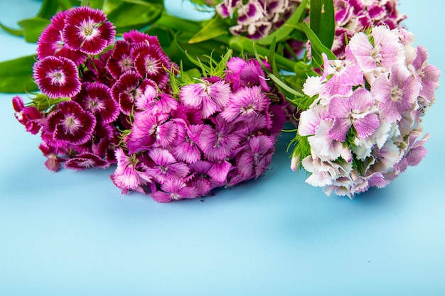 Side view of purple color sweet william or turkish carnation flowers isolated on blue background Free Photo