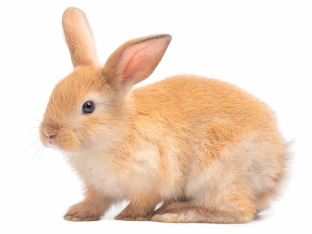 Side view of red-brown cute rabbit isolated on white background. Premium Photo
