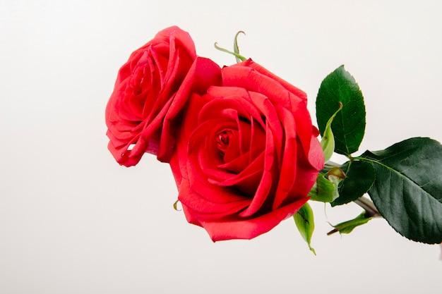 Vista laterale delle rose di colore rosso isolate su fondo bianco Foto Gratuite