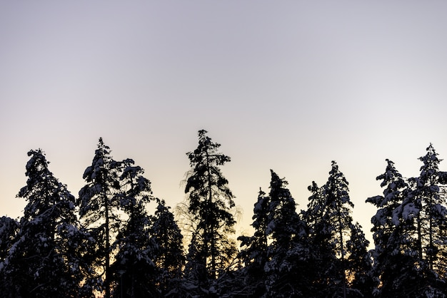 The silhouette forest has covered with heavy snow and sunset sky in winter season at holiday village kuukiuru, finland. Premium Photo