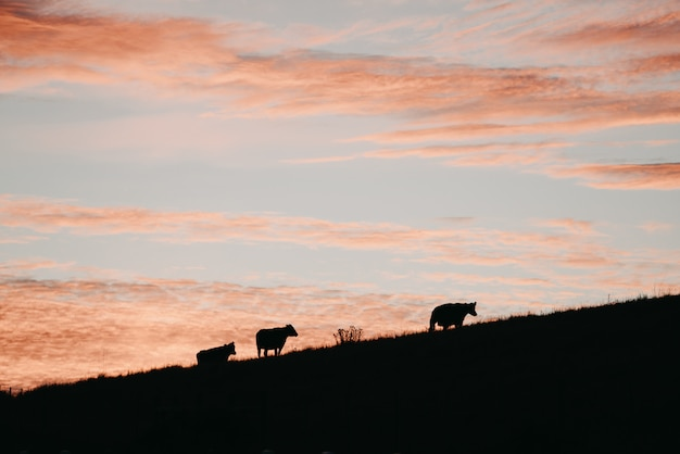 Silhouette shot of three cows on a hill under a pink sky Free Photo