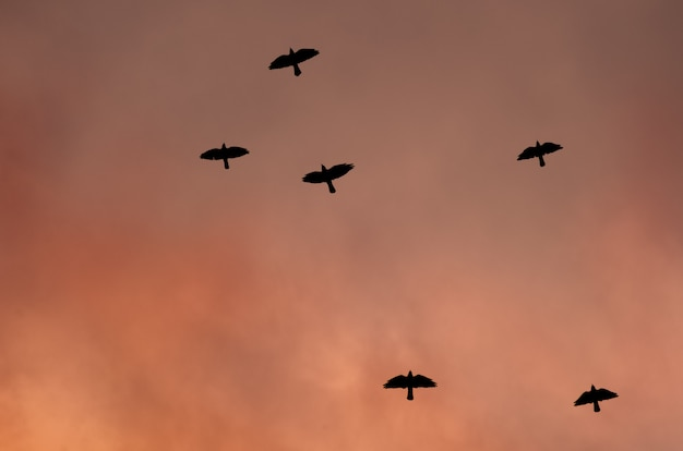 Silhouettes of black birds in the red sky. Premium Photo