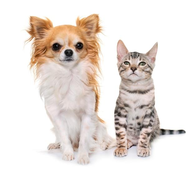 Silver bengal kitten and chihuahua Premium Photo