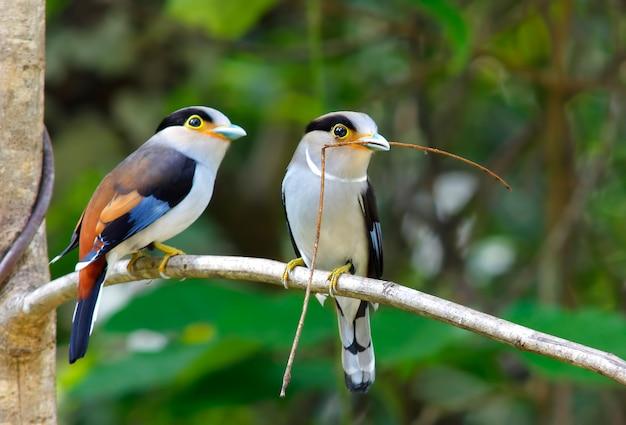 Silver breasted broadbill serilophus lunatus beautiful birds of thailand Premium Photo