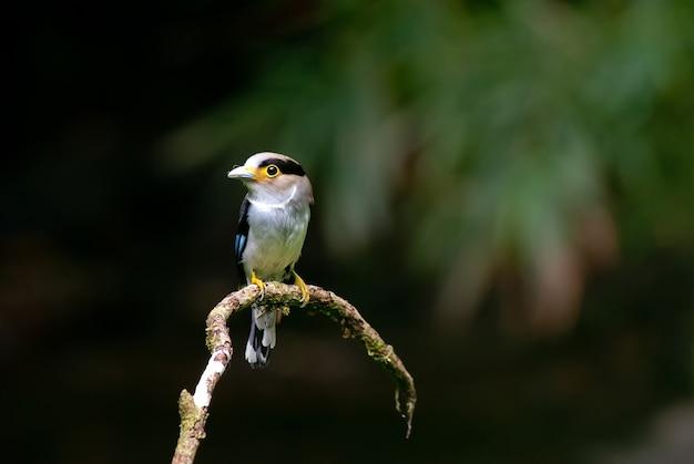 Silver-breasted broadbill (serilophus lunatus) beautiful uncommon bird on branch in deep forest, kae Premium Photo