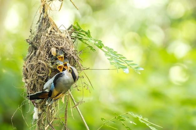 Silver-breasted broadbill (serilophus lunatus) feeding baby in the nest Premium Photo