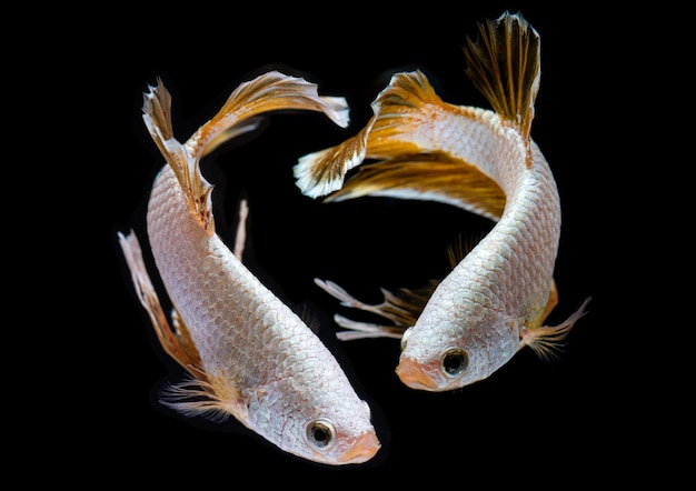 Silver dragon betta siamese fighting fish. Premium Photo