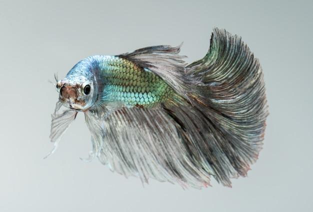 Premium Photo Silver Golden Copper Color Betta Fish