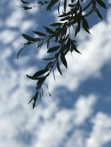 美しい曇り空の下で緑の葉と銀のカエデの木の枝 無料写真