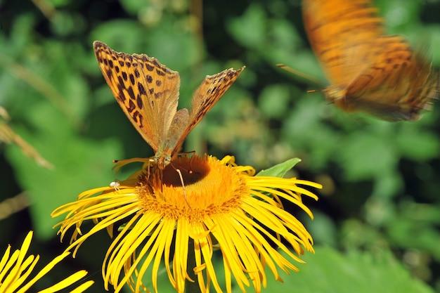 Серебряная жемчужная бабочка (argynnis paphia) на желтом цветке. макро, малая глубина резкости Premium Фотографии