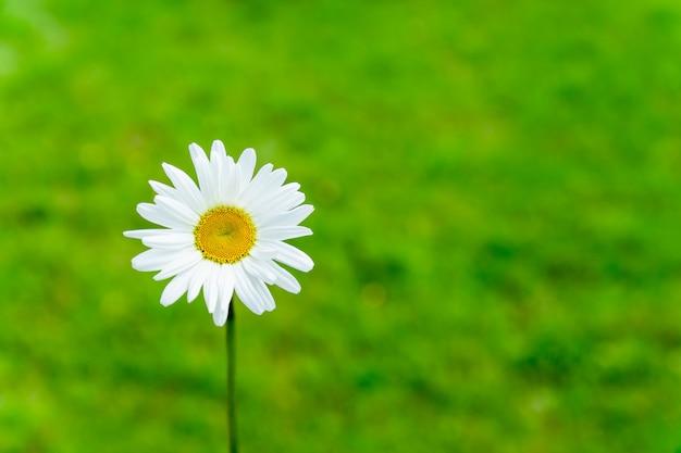 Одиночный зацветая цветок стоцвета на зеленой предпосылке природы. летняя концепция с копией пространства. Premium Фотографии