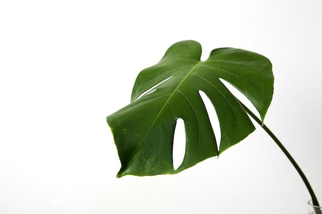 Single leaf of monstera deliciosa palm plant Premium Photo