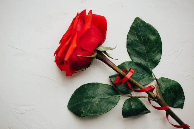 Single red rose with red ribbon on white plastered background Premium Photo