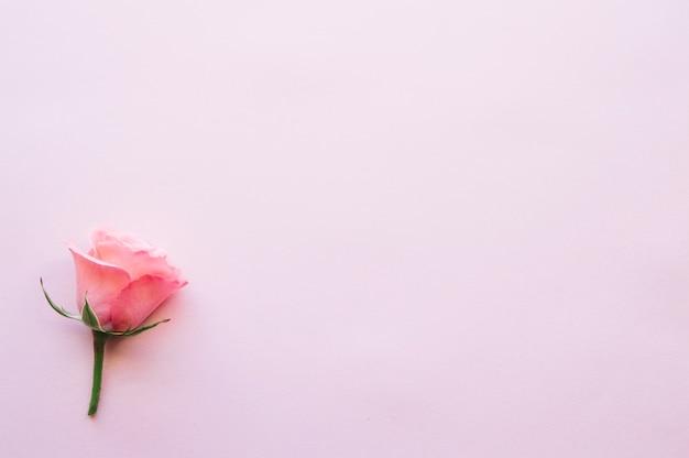 Single rose on pink Free Photo