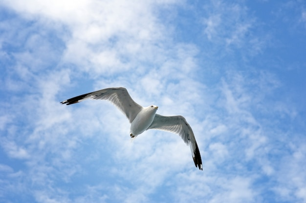 Single sea gull flying on blue sky and white clouds. Premium Photo