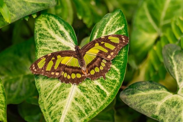 Siproeta stelenes (малахитовая бабочка) Premium Фотографии