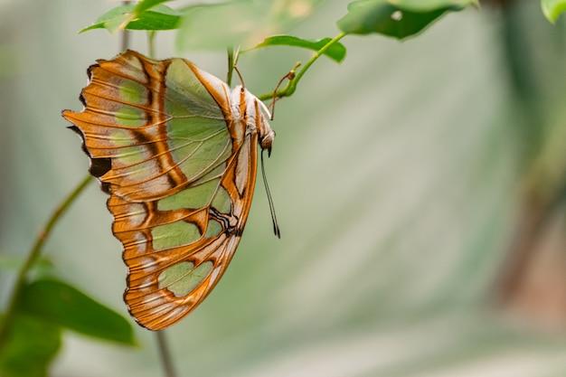 Siproeta стелены, малахитовая бабочка Premium Фотографии