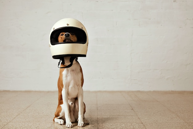 Sitting basenji dog wearing a huge white motorcycle helmet in a room with white walls and light wooden floors Free Photo