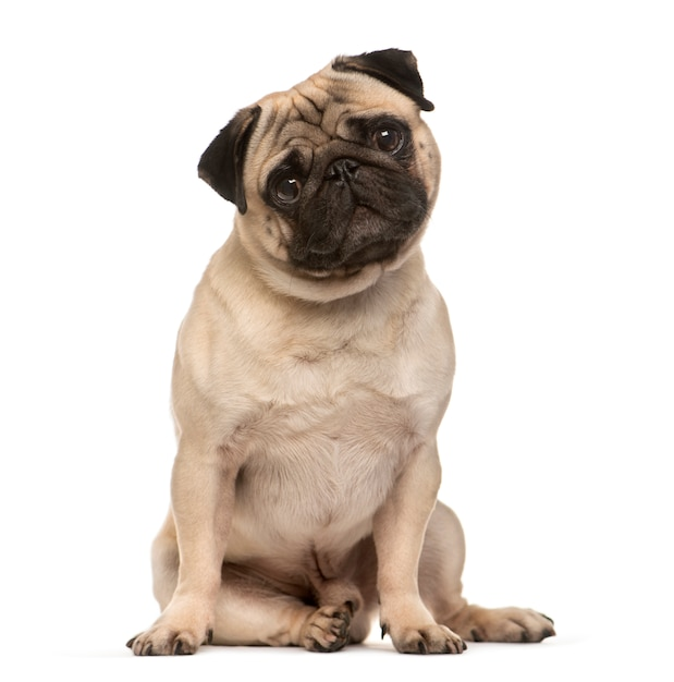 Sitting beige pug dog looking at the camera isolated on white Premium Photo