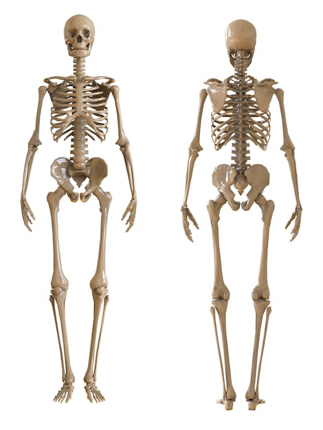Skeleton front and rear view Premium Photo