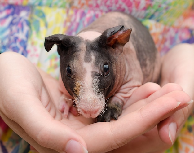 Skinny guinea pig baby in the hands of a child Premium Photo