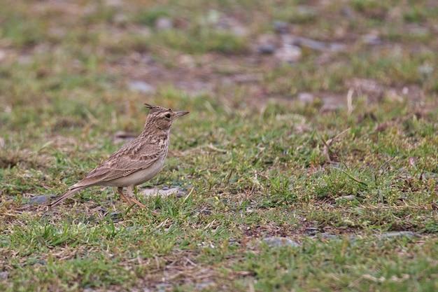 パキスタンの地面にひばりの鳥 無料写真