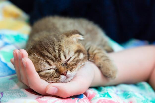 Slcottish kitten sleep on a female hand Premium Photo