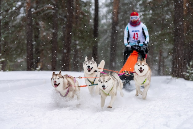 Sled dog racing. husky sled dogs team pull a sled with dog driver. winter competition. Premium Photo