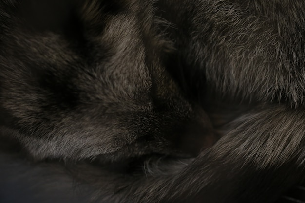 Sleeping black fox Premium Photo