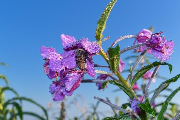 Спящий шмель в цветке с каплями росы Premium Фотографии