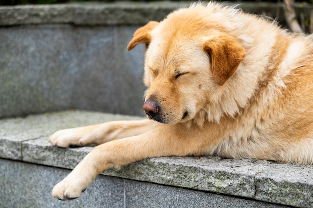 A sleeping furry brown dog is laying down on the rock and solid wall Premium Photo
