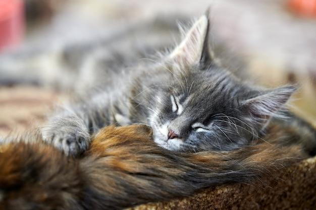 眠っているメインクーンの子猫 Premium写真