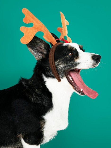 Sleepy cardigan welsh corgi dog wearing antlers Free Photo