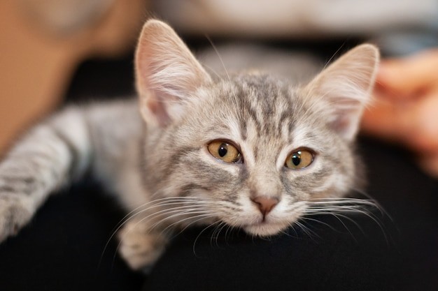 Sleepy kitten in a girls knees. home kitten with a cute attractive face. Premium Photo