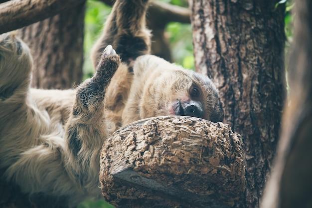 Bradipo appeso all'albero Foto Gratuite