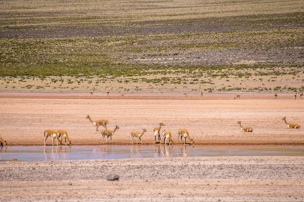 Маленькие антилопы пьют воду из озера, стоя в безлюдной долине Бесплатные Фотографии