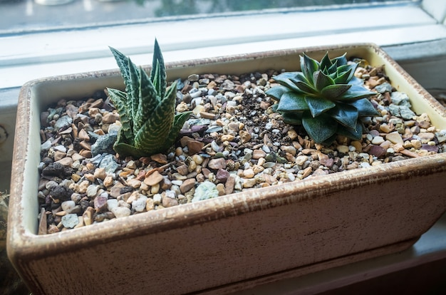 A small beautiful houseplant succulents grow in a flowerpot on the windowsill in stone ground Premiu