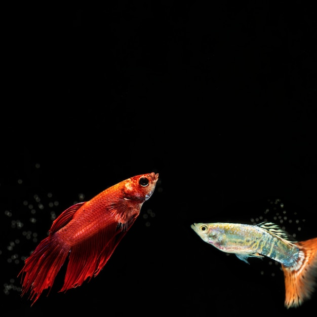 Small betta fish with copy space Free Photo