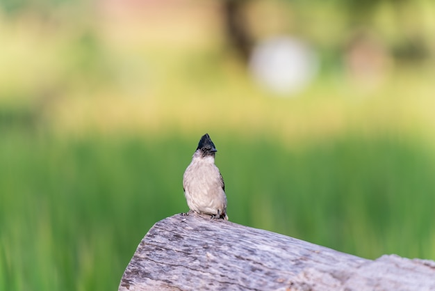 The small bird on the big timber with blurred soft of rice field background. Premium Photo