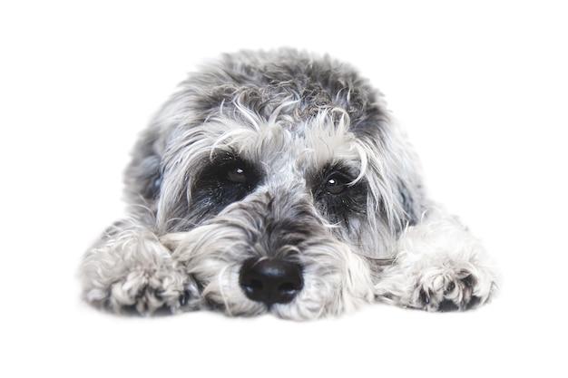Маленькая черно-белая собака шнауцера смотрит в камеру на белом фоне Premium Фотографии