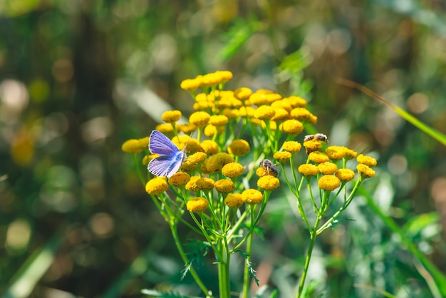Small blue butterfly on yellow wild flower with copy space on bokeh Premium Photo