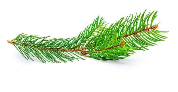 Small branch of christmas tree (picea abies, spruce, false spruce). isolated Premium Photo