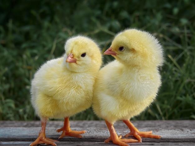 背景に小さな鶏。 Premium写真