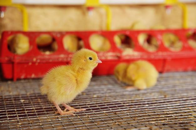 小さな鶏やウズラは飲料水です Premium写真